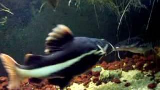 Giant Redtail Catfish(r.i.p.) & Tiger Shovel Nose 16 Months Old