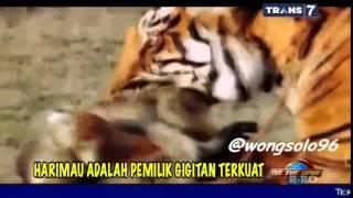 Amazing Trik & skill Harimau berburu makan 2000