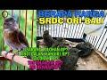 Brapa Harga Burung Srdc Dari  Sarang Lolohan Sampai Muda Hutan Srdc Ori Bali  Mp3 - Mp4 Download