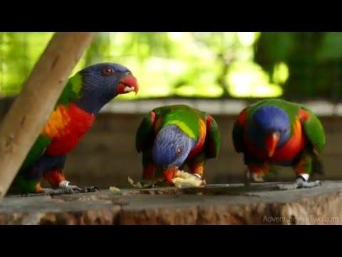ARDASTRA GARDENS: Lory Parrot Feeding in Bahamas during Norwegian Getaway cruise (4K video)