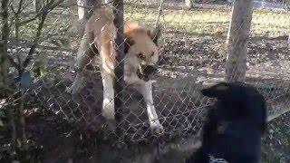 Rottweiler Casul met Akita Shepherd during the walk. Akita Shepherd...