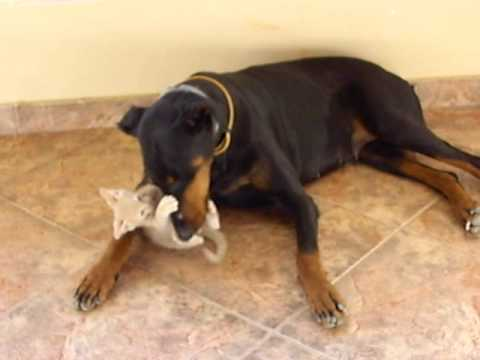 Doberman Still Playing With The Kitten Youtube
