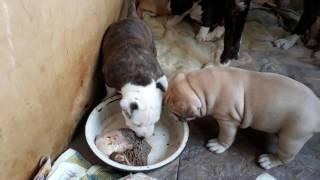 Интересуемся маминой миской 3,5 недели.Продаются щенки амстаффа.