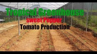 Greenhouse Tomato and Sweet pepper Production (Jamaica)