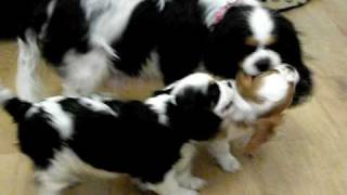 Cavalier King Charles Spaniel Puppies 8 Weeks Old