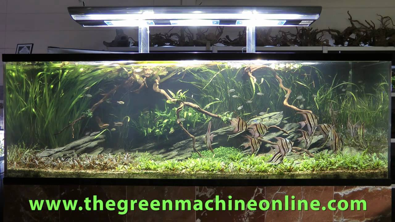 Altum Angel Aquascape, The Green Machine by Andrew Mack ...