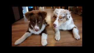 Australian shepherds doing tricks