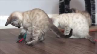 AsuraCats Snow kittens