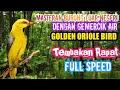 Masteran Paling Dicari Kicau Burung Luar Negeri Golden Oriole  Mp3 - Mp4 Download