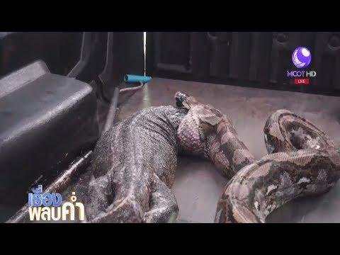 'ใหญ่แค่ไหนก็กินได้' งูเหลือมกินตัวเงินตัวทองขนาดยาวกว่า 1 ม.
