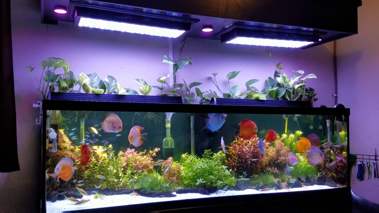 El acuario perfecto para peces discos by crazy aquarium of - Pecera de pared ...