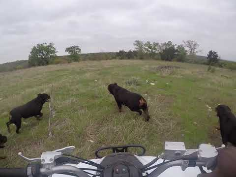Butler Kennels Rottweilers attacking the four wheeler run. (running )