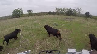 Butler Kennels Rottweilers attacking the four wheeler run. (running )