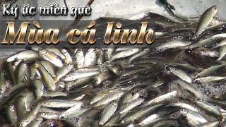 Ký ức miền quê | Mùa cá linh | THKG