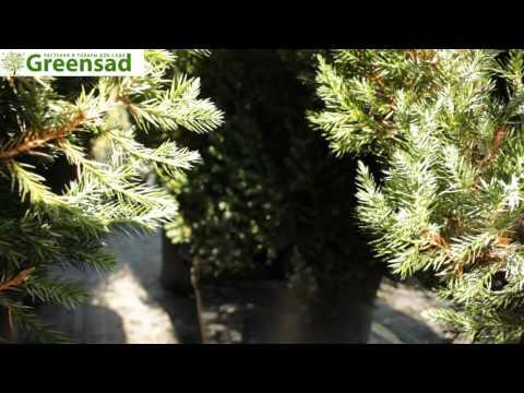 Можжевельник китайский: фото, посадка, уход и его сорта