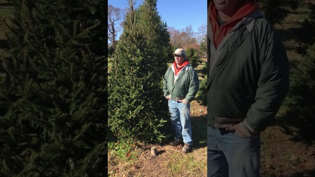 Cut Your Own Christmas Tree Long Island.Long Island Cut Your Own Christmas Tree Elwood Pumpkin Farm Norway Spruce