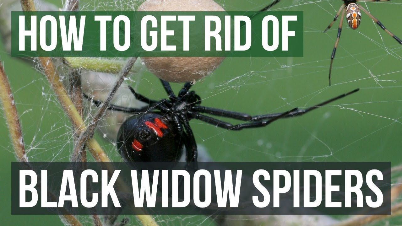 How To Get Rid Of Black Widow Spiders With Pictures Wikihow