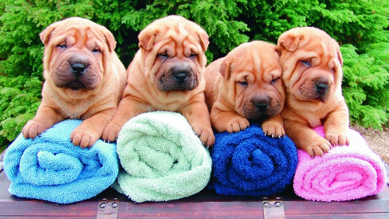 shar pei puppies for sale at petsyoulike   youtube