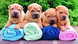 Shar Pei Puppies For Sale At Petsyoulike