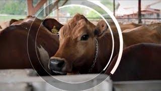 Au Costa-Rica, des vaches en bonne santé au chevet du climat mondial