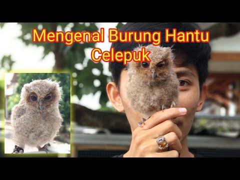 Burung Hantu Mini Celepuk Scoops Owl Youtube