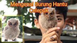 Burung Hantu Mini, Celepuk/Scoops Owl