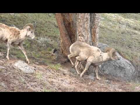 Yellowstone Bighorn Sheep   May 2014