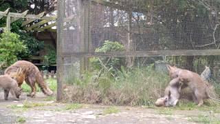 Playtime in the fox nursery