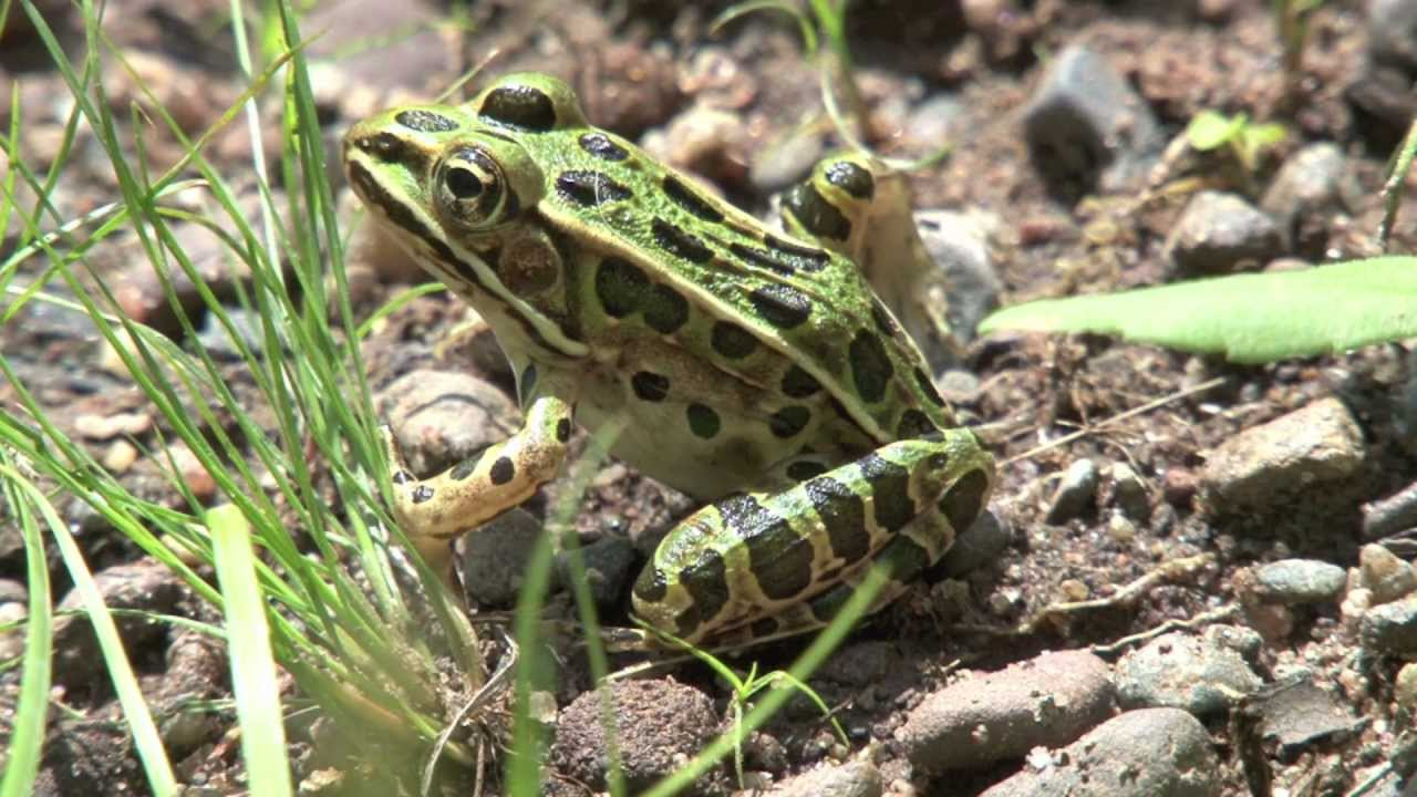 Northern leopard frog eating - photo#43