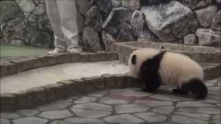 よちよちパンダ☆桃浜、飼育員さんに駆け寄る♪ Giant Panda Baby - Touhin♪