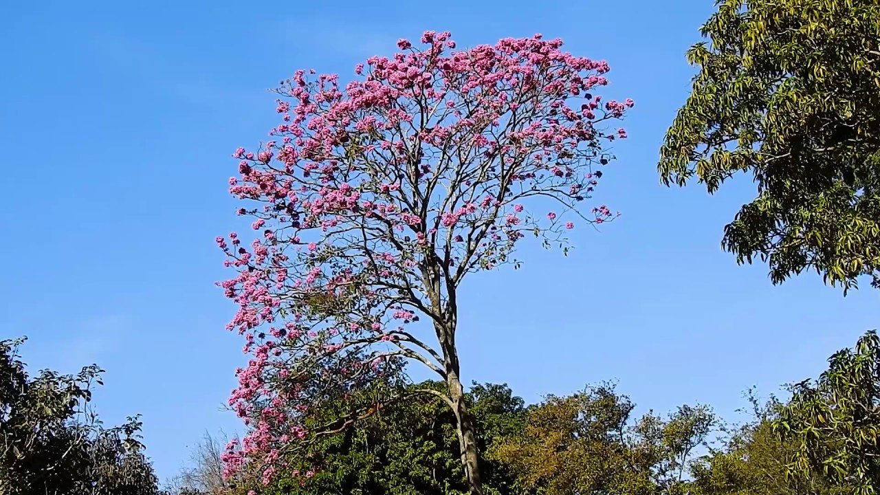 Flowering trees winter blossoms tabebuia impetiginosa flowering trees winter blossoms tabebuia impetiginosa handroanthus impetiginosus izmirmasajfo