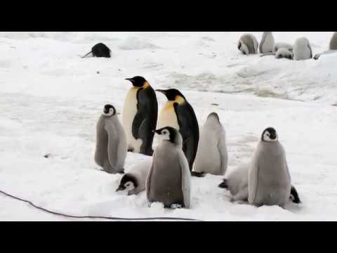 A visit with the Emperor Penguins of Snow Hill Island
