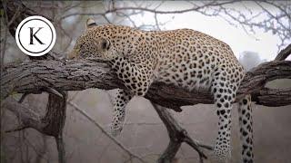 a safari in kruger national park south africa