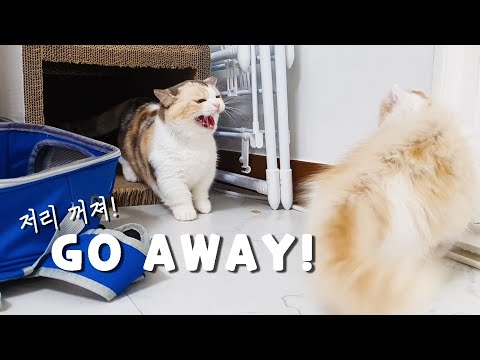 Confused Mom Cat Hisses and Attacks her Kitten
