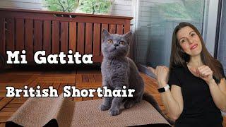 Mi gatita British Shorthair