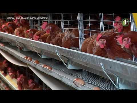 Visita a una granja Avicola Tecnificada Parte 3