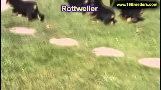 Rottweiler, Puppies, For, Sale, In, Lewiston, Maine, Me, Augusta, Biddeford, Auburn, South Portland