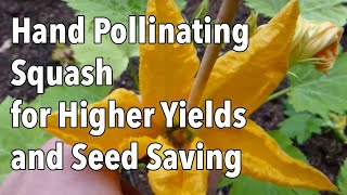 Hand Pollinating Squash f๐r Higher Yields and Seed Saving