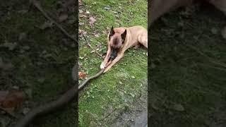 ГЕРМАНИЯ. Малинуа- собаки современной армии Германии.