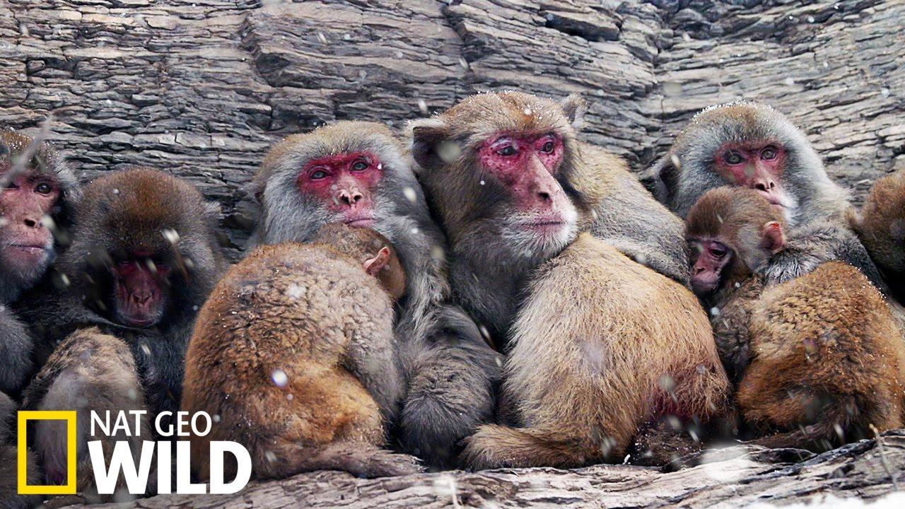 Les macaques face au froid glacial