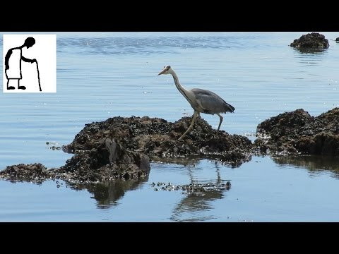 Grey Heron On South Milton Beach