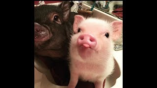 CUTE MICRO PIG | A Cute Mini Pig Videos Compilation 2019 #1