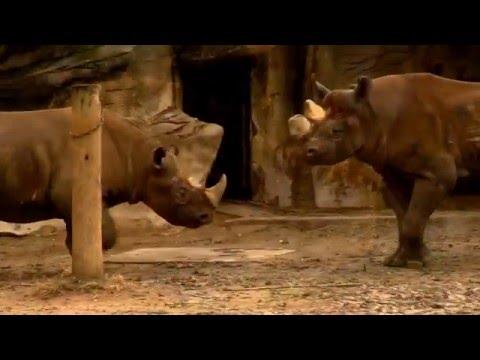 Black Rhino Courtship - Cincinnati Zoo