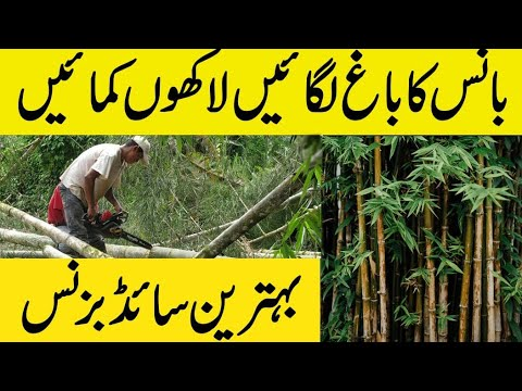 Bamboo ( bance ) farming in pakistan , Business ideas urdu