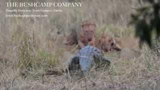 lion and crocodile fight over an impala kill at zungulila bushcamp south luangwa zambia