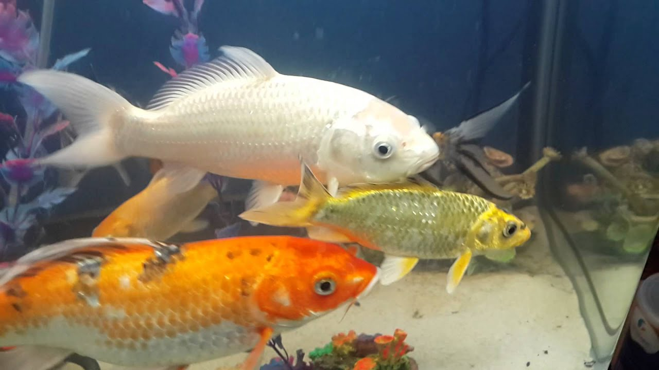 Variedad de peces koi en acuario 2014 youtube for Red para peces de acuario