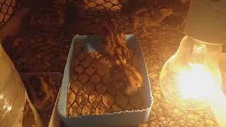 Codornas cortunix japonica mostrando a evoluц§цёo dos pintinhos