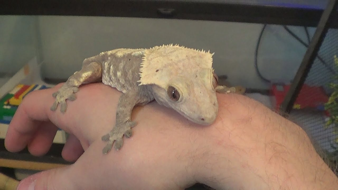 Crested Gecko Update Gecko Guy Youtube