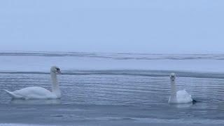 В Рузе гибнут лебеди ?