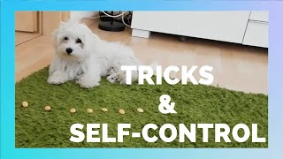 4 Months old Maltese puppy Tricks and SelfControl Training Session